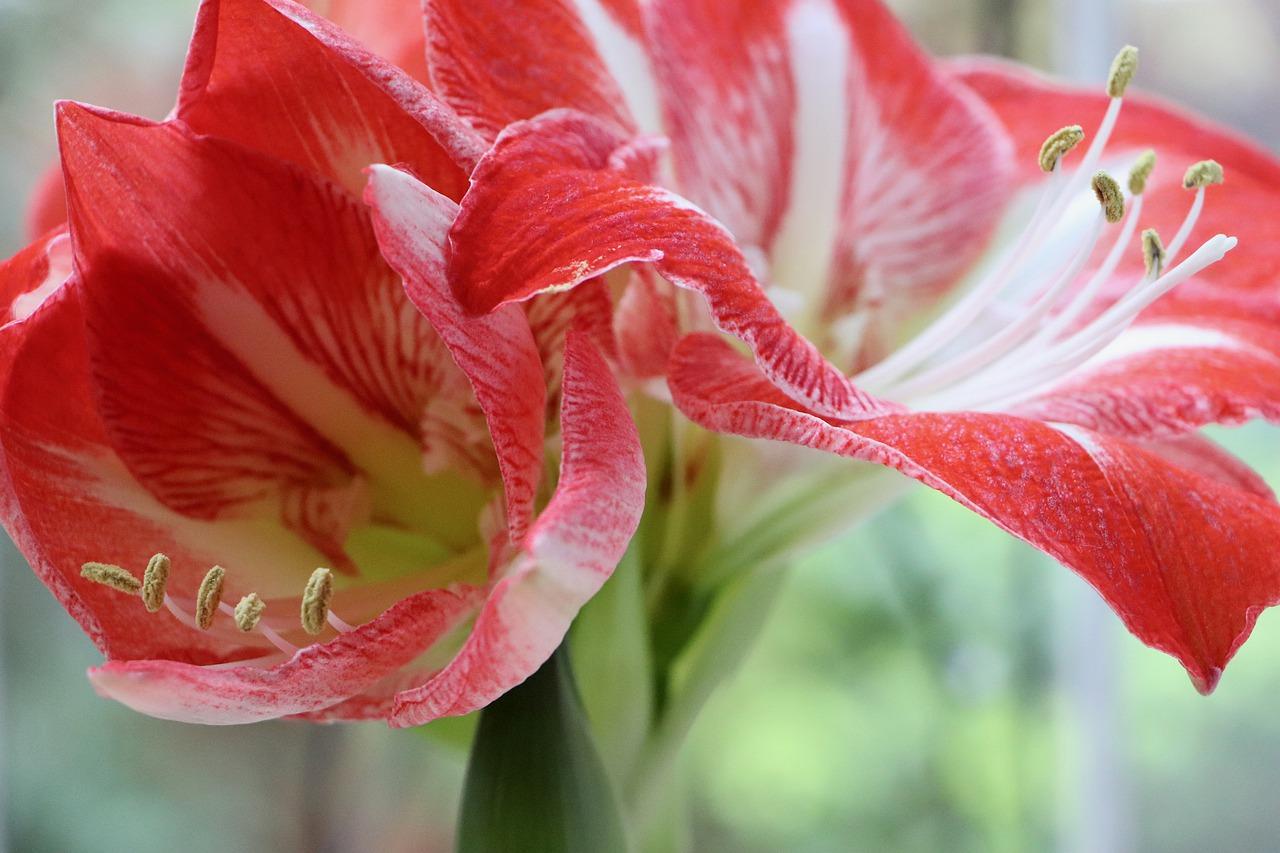 amaryllis jardinage